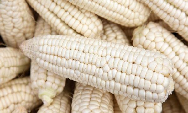 Falta de rentabilidad pone en riesgo próximo ciclo de maíz blanco