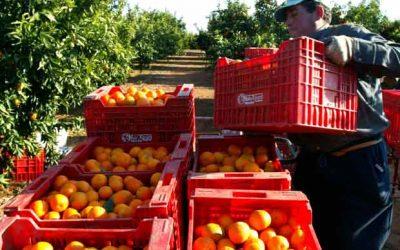 Productores de naranja denuncian que están a las puertas de la quiebra