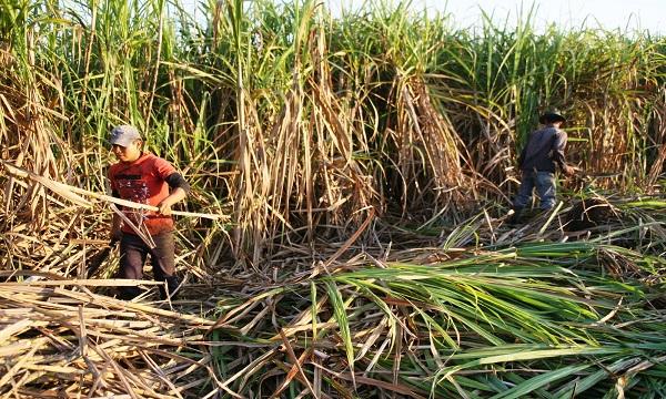 En peligro zafra de caña de azúcar  2017-2018 en Portuguesa  por falta de fertilizantes