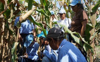 Técnicos evalúan nuevas variedades de maíz para siembras futuras