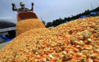 Fedeagro reporta caída en la siembra de maíz