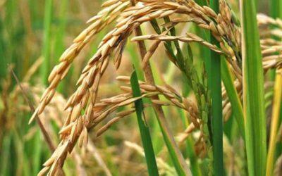 Fevearroz: Se logró sembrar solo 58 mil hectáreas de arroz en el 2021